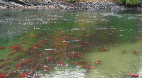 Feds announce a special fund for wild Pacific salmon