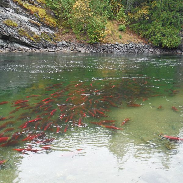 salmon restoration