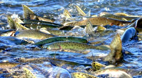 Alaska hatchery pink salmon imperil wild stocks