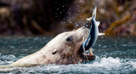"""it's now time to harvest or cull the seals and sea lions"""