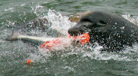 Seals feast on escaped salmon from fire damaged fish farm