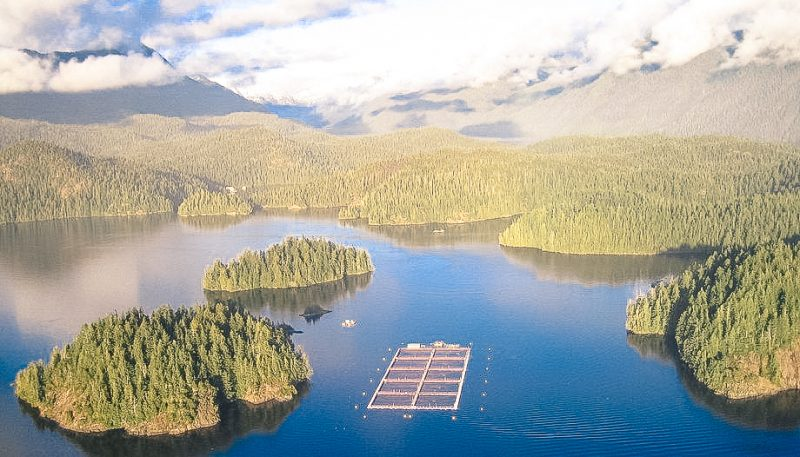 New report by activist-scientist concedes that BC salmon farmers are managing sea lice levels well.