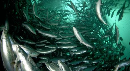 Salmon farmers relying less on wild fish for feed
