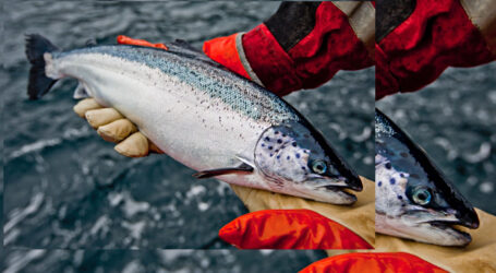 Activists correct their fishy science about salmon virus